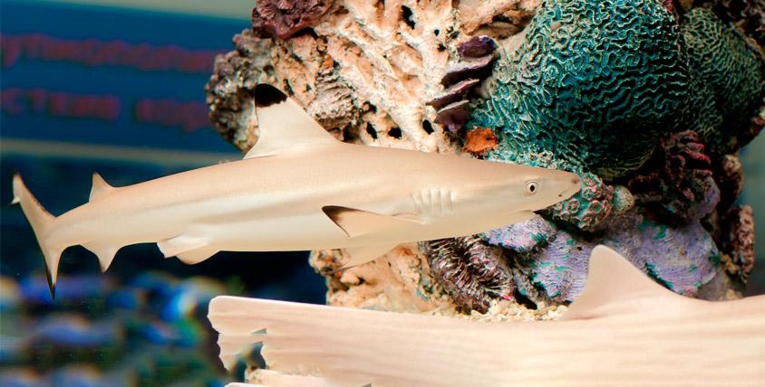 """Сертификаты 7200 руб. на шоу кормления акул от """"Морского аквариума на Чистых прудах"""""""
