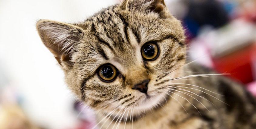 """Билеты на Международную выставку кошек клуба """"Кэт"""". Четвероногие друзья ждут вас!"""