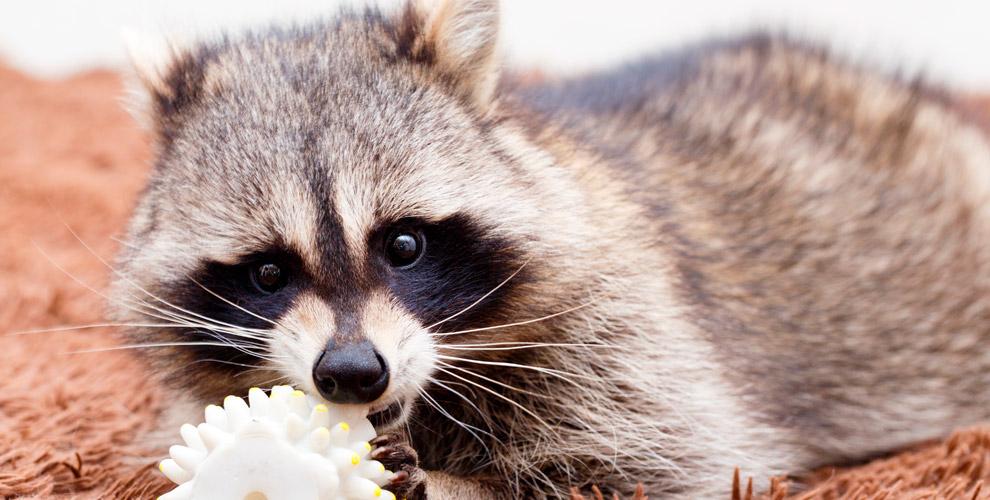 «Ручные Енотики»: посещение контактного зоопарка длядетей ивзрослых