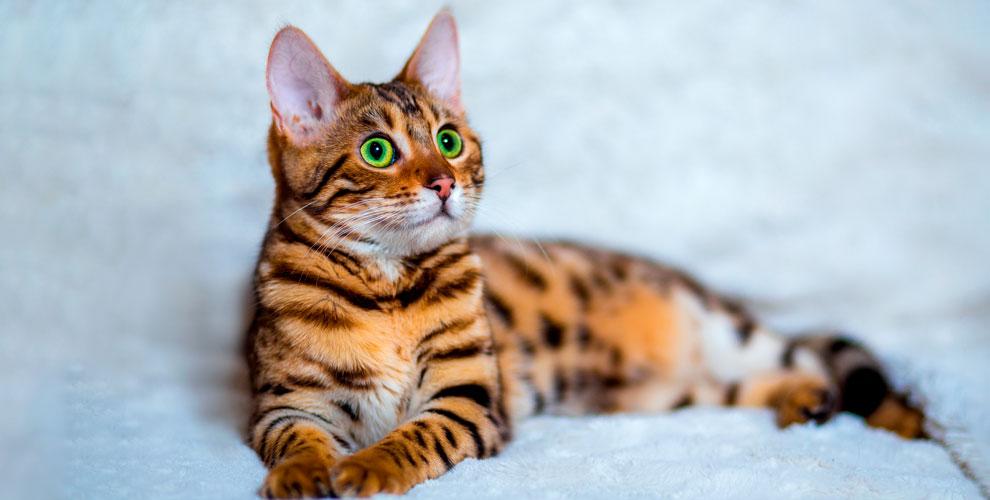 КЛК «Элиткэт» приглашает взрослых и детей на международную выставку кошек