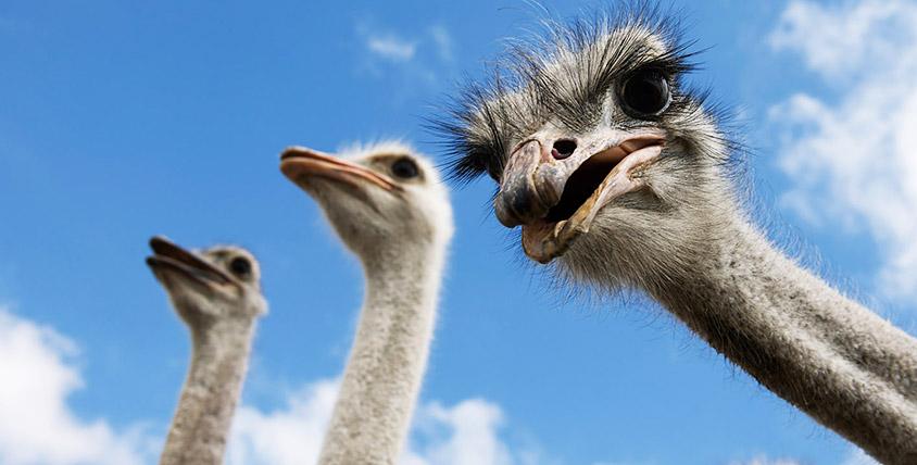 """Экскурсии по страусиной ферме для детей и взрослых от компании """"Русский страус"""""""
