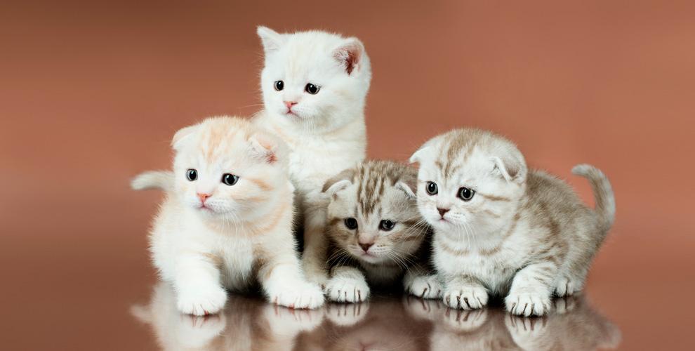 ФПЦZOOSTAR приглашает навыставку кошек «Созвездие Сибири 2019»