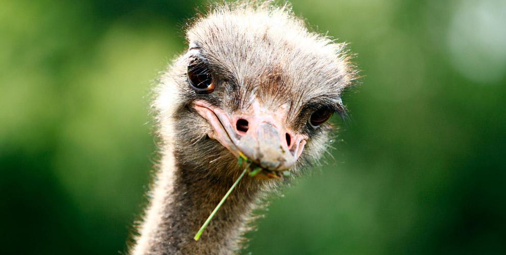 Страусиная ферма «Русский страус» приглашает наэкскурсию иквест