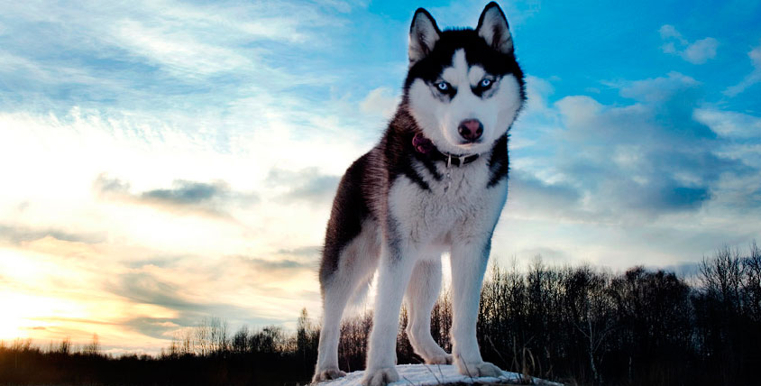 Знакомство с ездовыми собаками хаски и оленями в компании WalkService