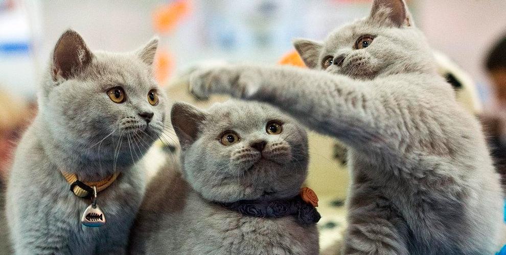 """КЛК """"Элиткэт"""" приглашает взрослых и детей на международную выставку кошек"""