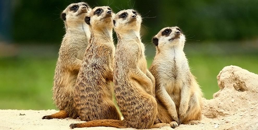 Посещение контактного зоопарка «Планета енотов исурикатов» вбудние ивыходныедни