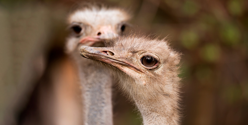 Страусиная ферма «Русский страус» приглашает на экскурсию и квест