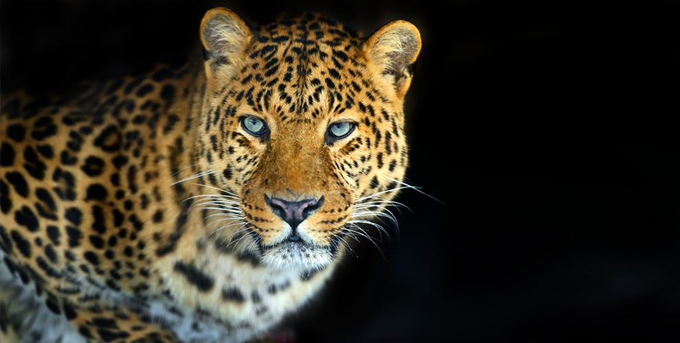 Представление «Шоуперсидских леопардов» вцирке «Золотой дракон»