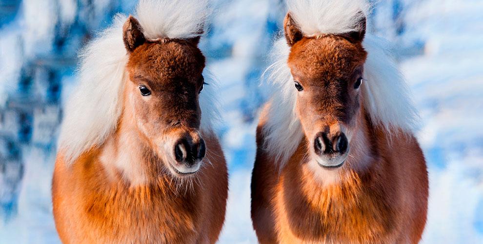 Пони-клуб «Фортуна»: катание, аренда пони для фотосессии и другое