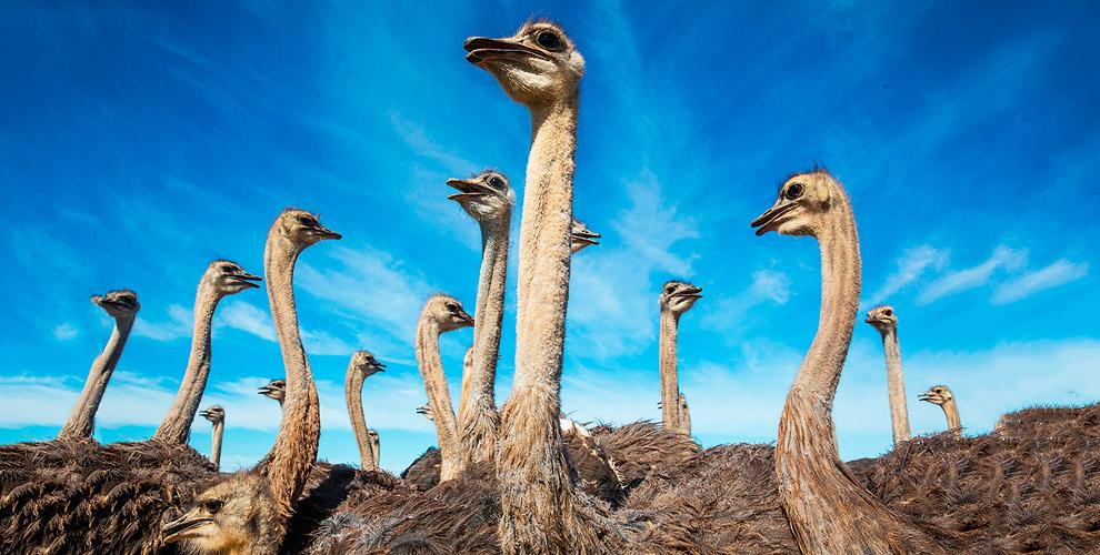 """Экскурсии по страусиной ферме для взрослых и детей от компании """"Русский страус"""""""