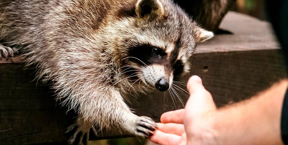 Посещение контактного зоопарка «Планета енотов» для детей и взрослых