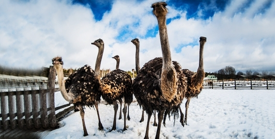 """Хотите узнать об экзотических и красивых птицах больше? Экскурсия на ферме """"Уральский страус"""" именно то, что вам нужно!"""