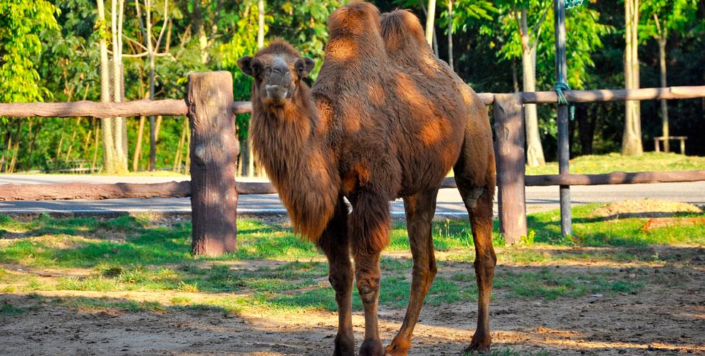 «Корабли пустынь и степей»: аренда и катание на верблюде, экскурсия по ферме