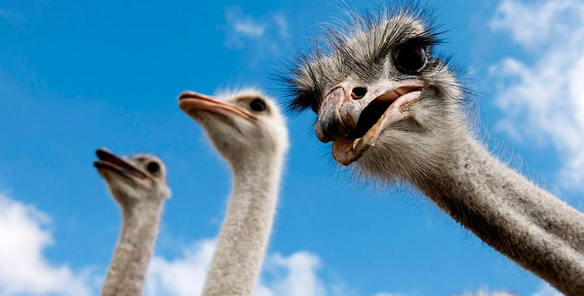 """Экзотическая птица очарует вас! Посещение страусиной фермы и знакомство с другими животными на ферме """"Уральский страус"""""""