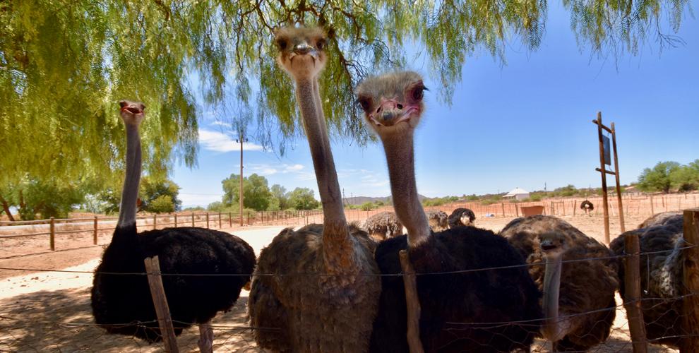 Посещение страусиной фермы «Уральский страус»